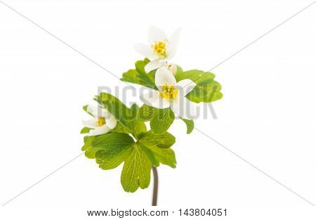 spring forest flower on a white background