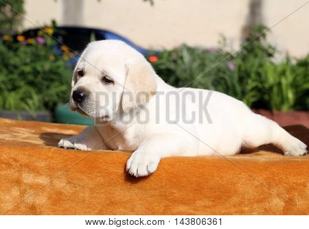 The Little Labrador Puppy On An Orange Background