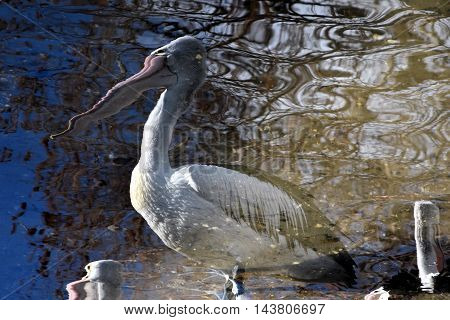 Pelican, reflection in water (Central Coast, Australia)