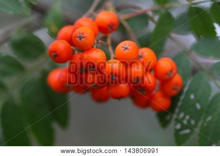 Berries of a mountain ash (Sorbus aucuparia)