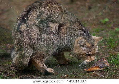 European wildcat (Felis silvestris silvestris). Wildlife animal.