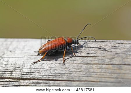 A female Red-brown Longhorn Beetle (Stictoleptura rubra)