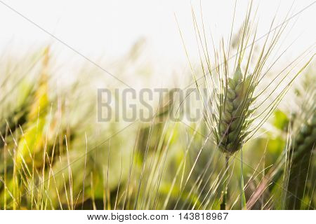Close up view of barley field in summer day