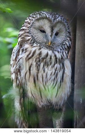 Ural owl (Strix uralensis). Wildlife animal.