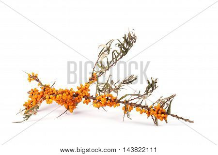 Sea buck thorn branch with berries isolated on the white background