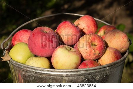 unwashed natural farmer red and green apples in the pail