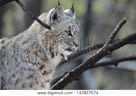 Beautiful profile view of a Canadian lynx bobcat in the wild.