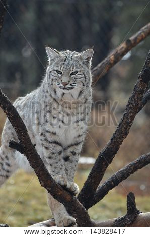 Bobcat sitting quietly in a fallen tree.