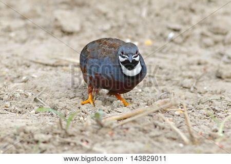 King quail Button Quail Blue-breasted quail Male Birds of Thailand