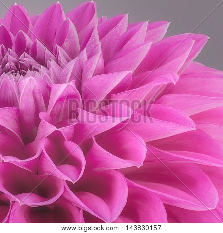 Purple flower petals close up and macro of chrysanthemum beautiful abstract background.