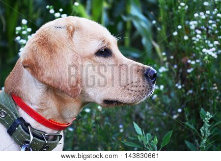 Labrador retriever gold play in the field outdoor.Summer time.