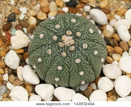 Beautiful Cactaceae : Astrophytum asterias in houseplant garden.