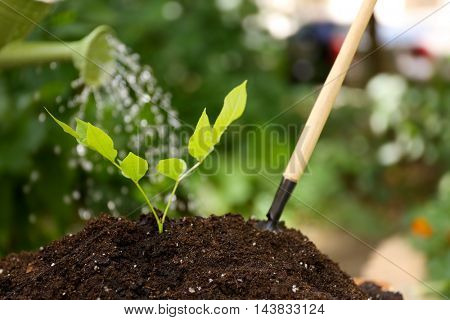 Plant watered from watering can in garden