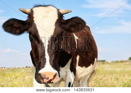 Brindled cow on a field, close up
