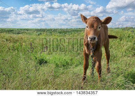 Young calf on green field