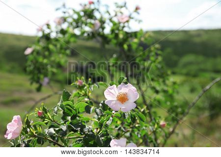 Green wild rose bush