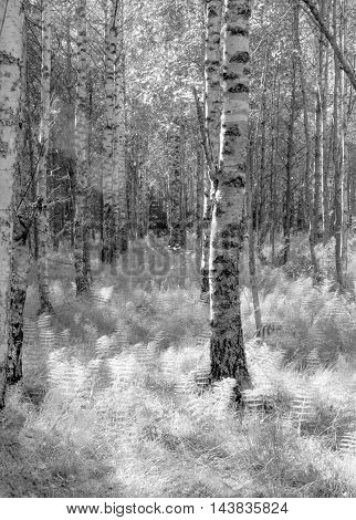 Birch forest in summer day in black and white