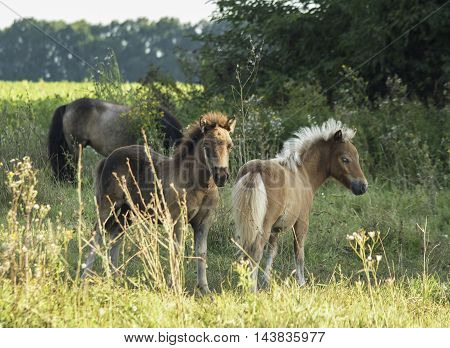 two small ponies walk in a field on the green grass