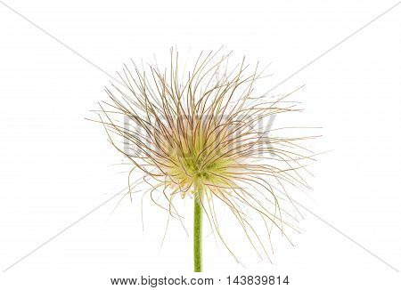 delicate sleep grass on a white background