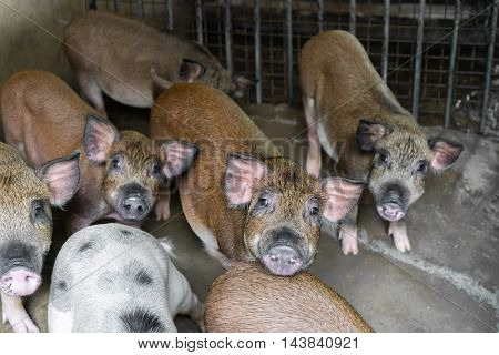 pigs on the farm