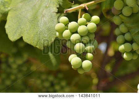 unriped green grapes in the garden .