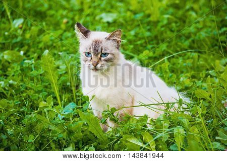 Neva Masquerade cat (kitten) with blue eyes sitting in green grass.