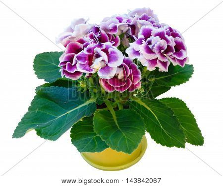 Gloxinia Plant With Violet-white Flowers  Isolated On White
