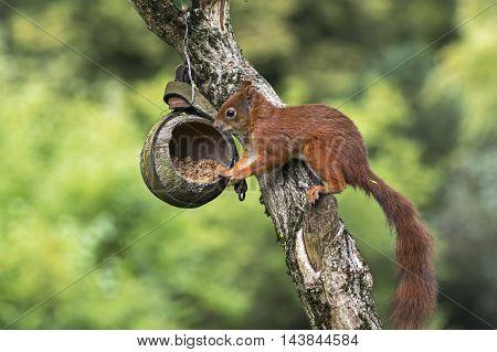 A red squirrel plunders a birdfeeder in fall