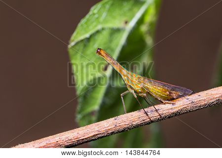Long Nosed Planthopper In Nature