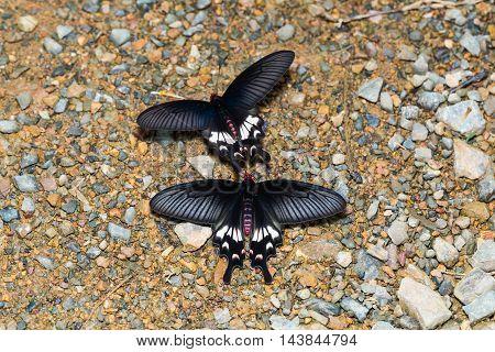 Adamson's Rose Butterflies