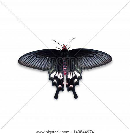 Adamson's Rose Butterfly