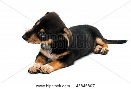looking dog Dachshund puppy on a white background