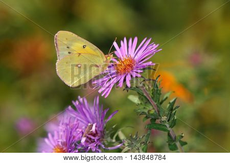 Small Butterfly Pink Edged Sulphur On Alpine Aster Pieris rapae