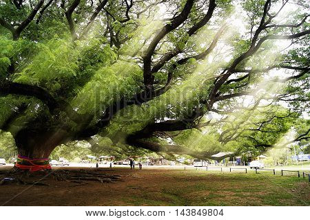 A big old tree with sunbeams shining through its branches