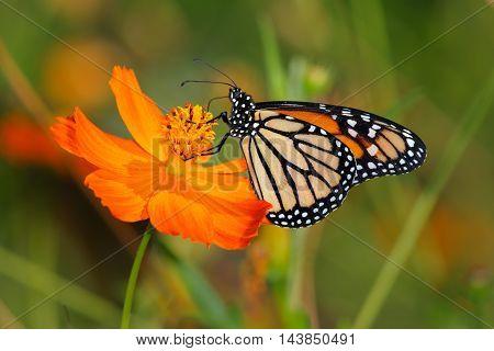 Monarch Butterfly On An Orange Flower Danaus plexippus