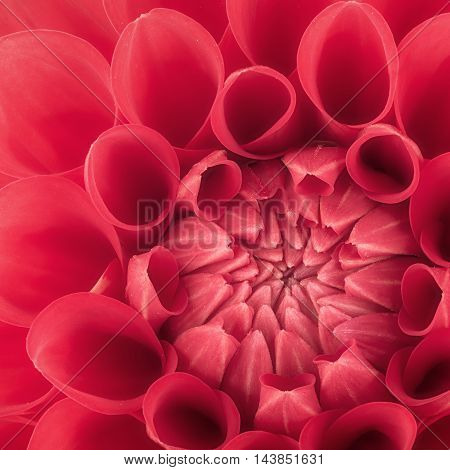 Red flower petals close up and macro of chrysanthemum beautiful abstract background.