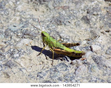 Grasshopper on asphalt road during sunny day