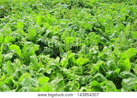 Green bed of the fresh sugar beet