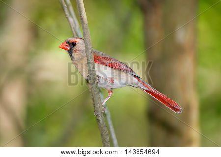 A Bird, The Northern Cardinal Female Cardinalis cardinalis