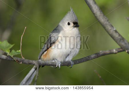 Tufted Titmouse Striking A Curious Pose Parus bicolor