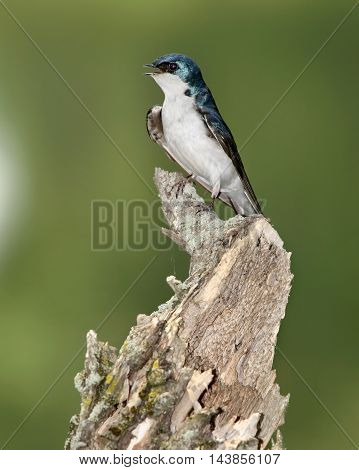 A Bird On An Old Stump The Tree Swallow In Profile Pose Tachycineta bicolor Green Background With Space For Copy