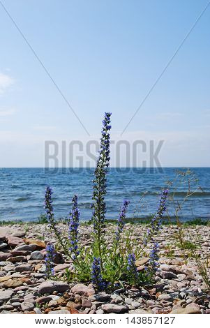 Blue-weed plant by the coast with the horizon over blue water