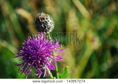 Purple flower closeup by a natural green blurred background