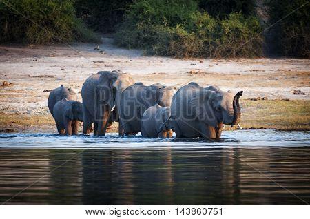 Herd of elephants crossing the Chobe River Chobe National Park in Botswana