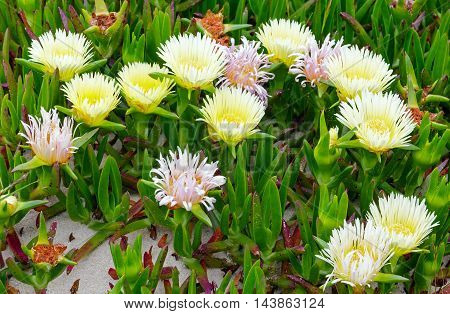 White Flowers On Sand (carpobrotus) Closeup.