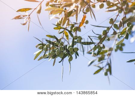 Green Olive Tree Branches With Fruits In Sunlight