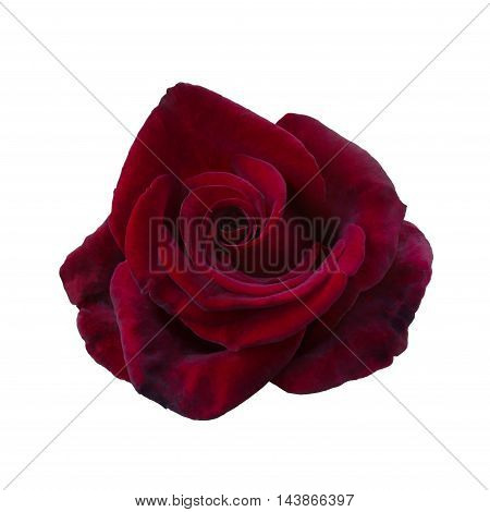 one dark red rose close up isolated on white background