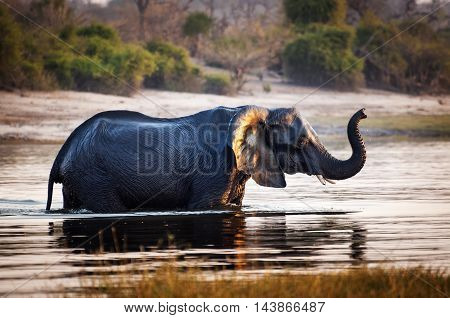 Elephant crossing the Chobe River in the Chobe National Park in Botswana Africa; Concept for travel safari and travel in Africa
