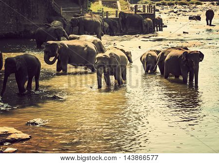 Asian Elephant Family In Water Nature Background