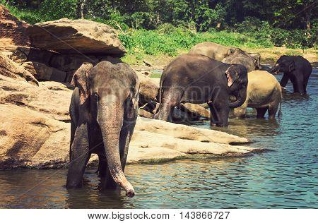 Elephant Sri Lanka Park Pinnawala